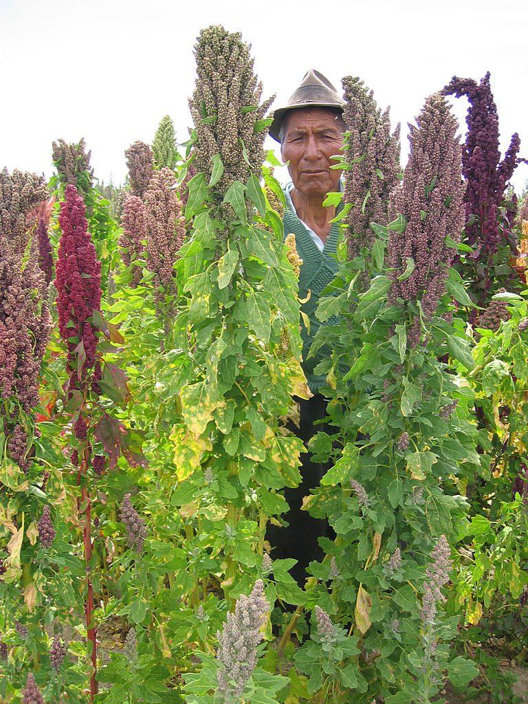 Bonde står i sin quinoa åker